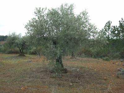 Olivo de Castilblanco